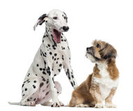 Dalmatian and Lhassa apso sitting, isolated Stock Photos