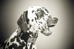 Dalmatian licking mouth, black and white Royalty Free Stock Photo