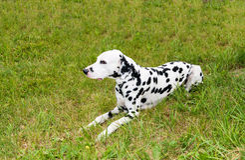 Dalmatian lies. Royalty Free Stock Images