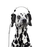 Dalmatian listening to music. And enjoy Stock Image