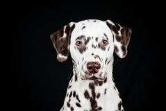 Dalmatian, liver spotted Stock Photo