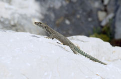 Dalmatian lizard Royalty Free Stock Images