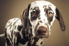 Dalmatian looking sad Royalty Free Stock Image