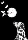 Dalmatian looking at white clock Royalty Free Stock Images