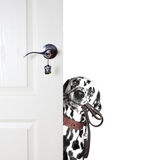 Dalmatian looks to leash from behind the door Royalty Free Stock Photo