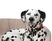 Dalmatian lying in dog bed, isolated against a white background. Royalty Free Stock Photo