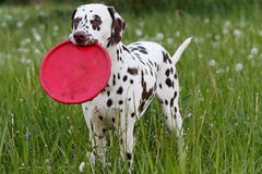 Dalmatian on the meadow Royalty Free Stock Photo