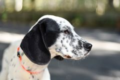 Dalmatian mix large puppy with floppy ears. Dalmatian mix large puppy with floppy big ears royalty free stock images
