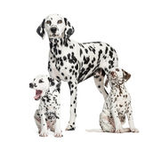 Dalmatian mom and puppies, isolated on white royalty free stock images