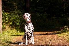 Dalmatian na floresta Imagem de Stock