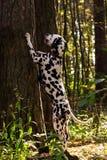 Dalmatian na floresta Fotografia de Stock Royalty Free