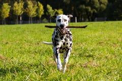 Dalmatian na floresta Fotografia de Stock