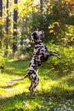 Dalmatian na floresta Foto de Stock