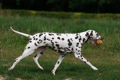 Dalmatian na grama Imagens de Stock Royalty Free