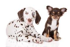 Dalmatian- och chihuahuavalpar tillsammans på vit Arkivbild