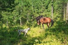 Dalmatian och häst arkivbilder