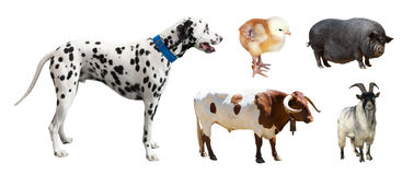 Dalmatian and other farm animals. Isolated over white Stock Photos