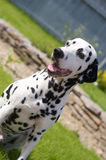 Dalmatian outside. Dalmatian is sitting outside in the garden Royalty Free Stock Images