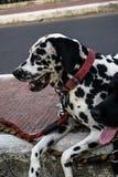Dalmatian på trottoaren Royaltyfri Bild