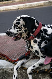 Dalmatian on the pavement. There is no faith which has never yet been broken,except that of a truly faithful dog Royalty Free Stock Image
