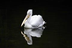 dalmatian pelecanuspelikan för crispus Arkivbilder