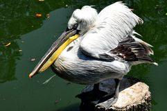Dalmatian Pelican. A grouchy-looking dalmatian pelican, the largest in the pelican family Royalty Free Stock Image