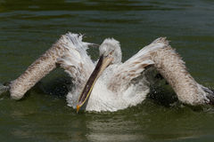 Free Dalmatian Pelican Stock Photos - 15672103