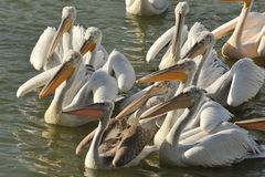 Dalmatian pelican Royalty Free Stock Photos