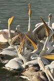 Dalmatian pelican Royalty Free Stock Images