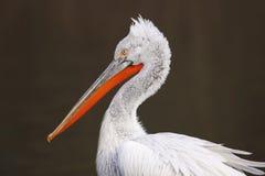 Dalmatian pelican Royalty Free Stock Image