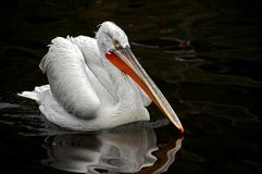 Dalmatian pelican. On the water royalty free stock image
