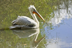 Dalmatian pelican. (Pelecanus crispus stock photo