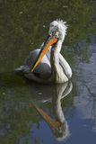 Dalmatian pelican Stock Images