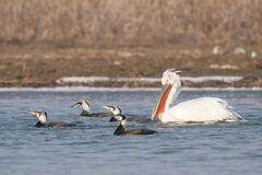 Dalmatian Pelican Royalty Free Stock Photography