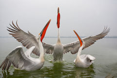 Dalmatian Pelican Stock Photo