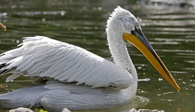 Dalmatian pelican 7 Stock Image