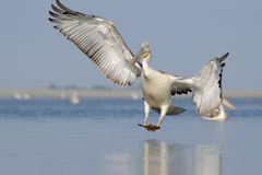 Dalmatian Pelican arriving Royalty Free Stock Images