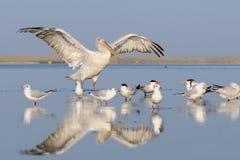 Dalmatian Pelican awakening between gulls and terns Royalty Free Stock Images