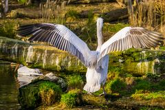 Dalmatian pelican from the back spreading its wings, near threatened animal specie from Europe and India. A Dalmatian pelican from the back spreading its wings royalty free stock photos
