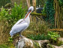 Dalmatian pelican in closeup cleaning its feathers, Near threatened bird specie from Europe and India. A Dalmatian pelican in closeup cleaning its feathers, Near royalty free stock photos