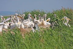 Dalmatian pelican colony Royalty Free Stock Image