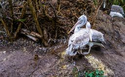 Dalmatian pelican couple together, water birds from Europe. A dalmatian pelican couple being close together, water birds from Europe stock photography