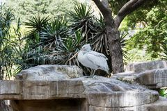 Dalmatian Pelican Stock Photos