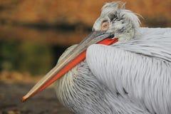 Dalmatian pelican. The detail of adult dalmatian pelican Stock Photography