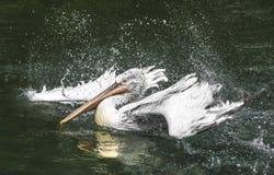 Dalmatian Pelican. Feathers shaking .The  (Pelecanus crispus) is a massive member of the pelican family Stock Images