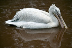 Dalmatian Pelican fishing for food Stock Images