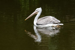 Dalmatian Pelican fishing in the water Royalty Free Stock Images