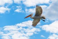 Dalmatian pelican in flight Royalty Free Stock Image
