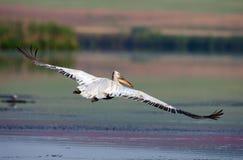 Dalmatian Pelican in flight. Over Rosca Buhaiova reserve, Danube Delta, Romania Stock Image