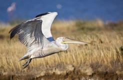 Dalmatian Pelican in Flight (Pelecanus crispus) Royalty Free Stock Photography